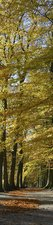 SALE: Muursticker/deursticker oude beukenbomen 60x180cm (BxL)