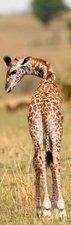 SALE: Muursticker/deursticker giraffe 60x190cm (BxL)