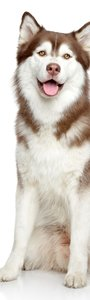 SALE: Muursticker/deursticker Siberische husky  50x210cm (BxL)
